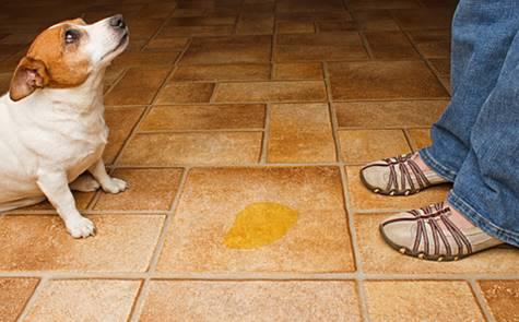 Submissive Urination is Not a Housebreaking Problem
